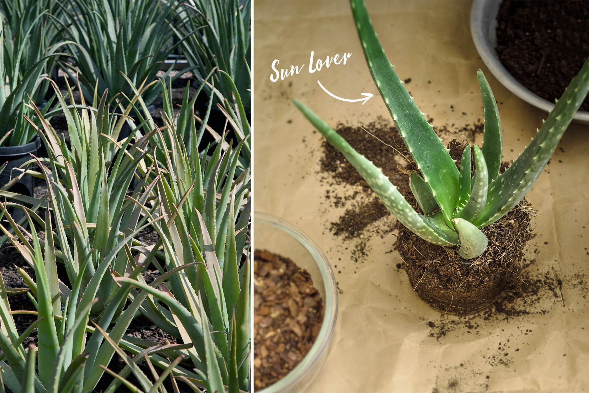 growing aloe plants
