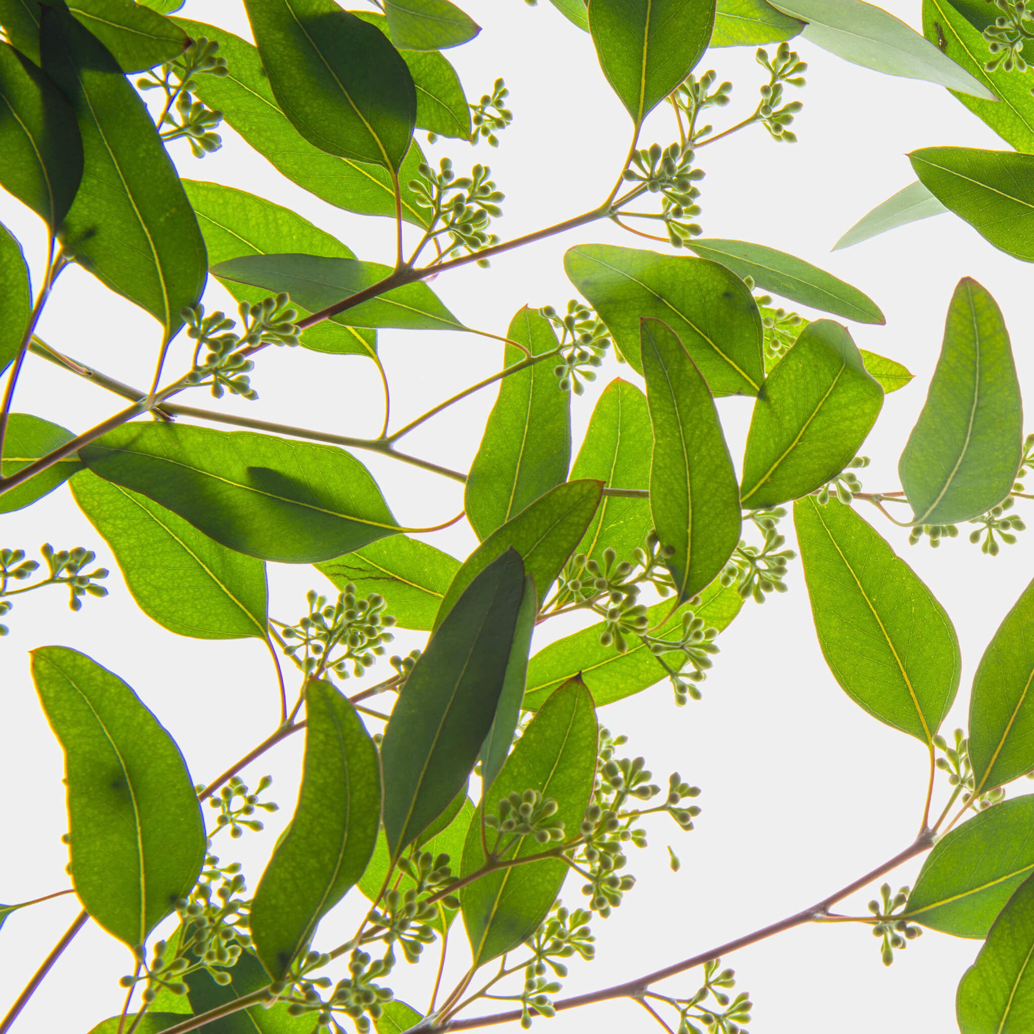 Product Page Key Ingredients: Eucalyptus