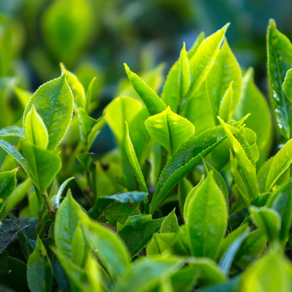 Product Page Key Ingredients: Green Tea