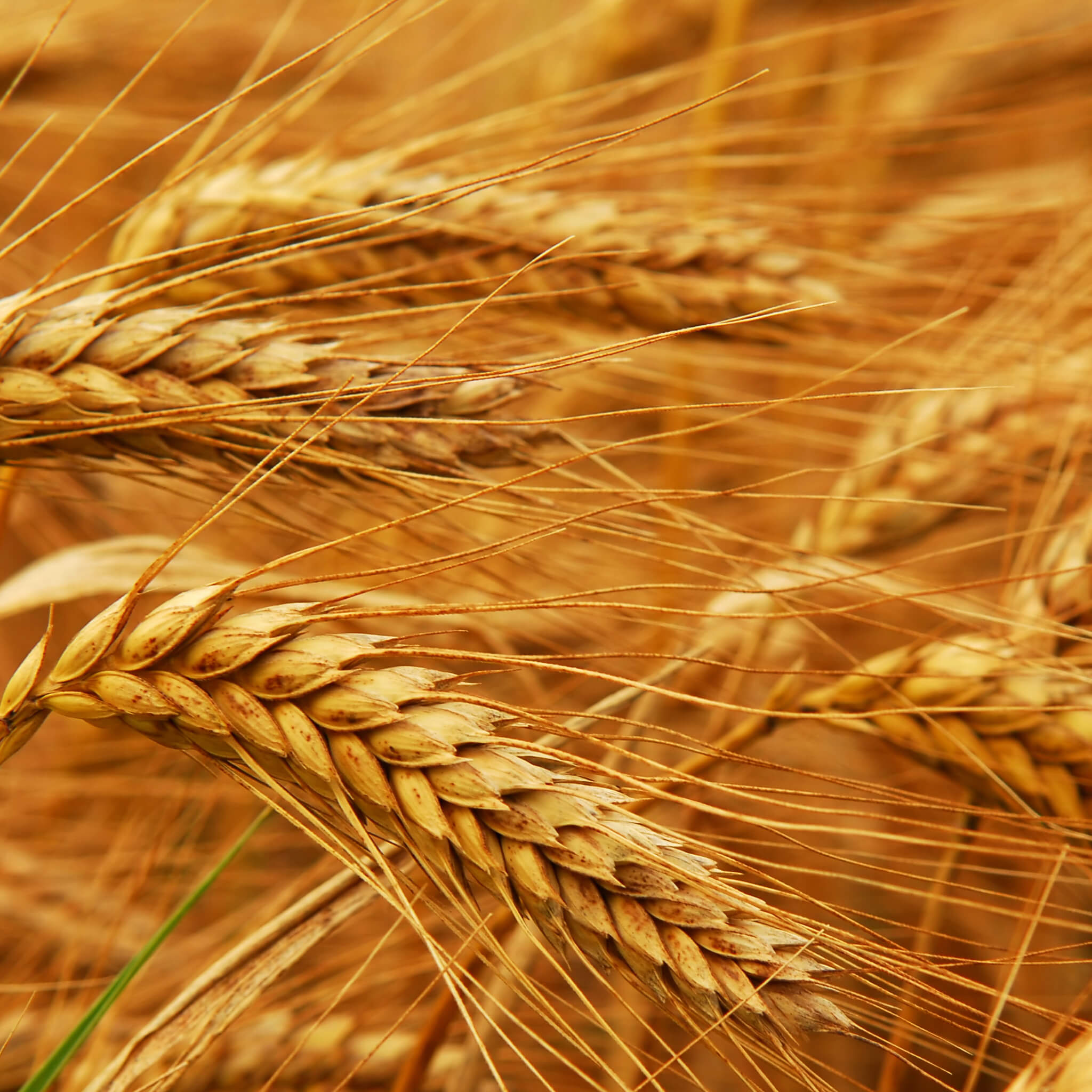 Product Page Key Ingredients: Wheat Protein