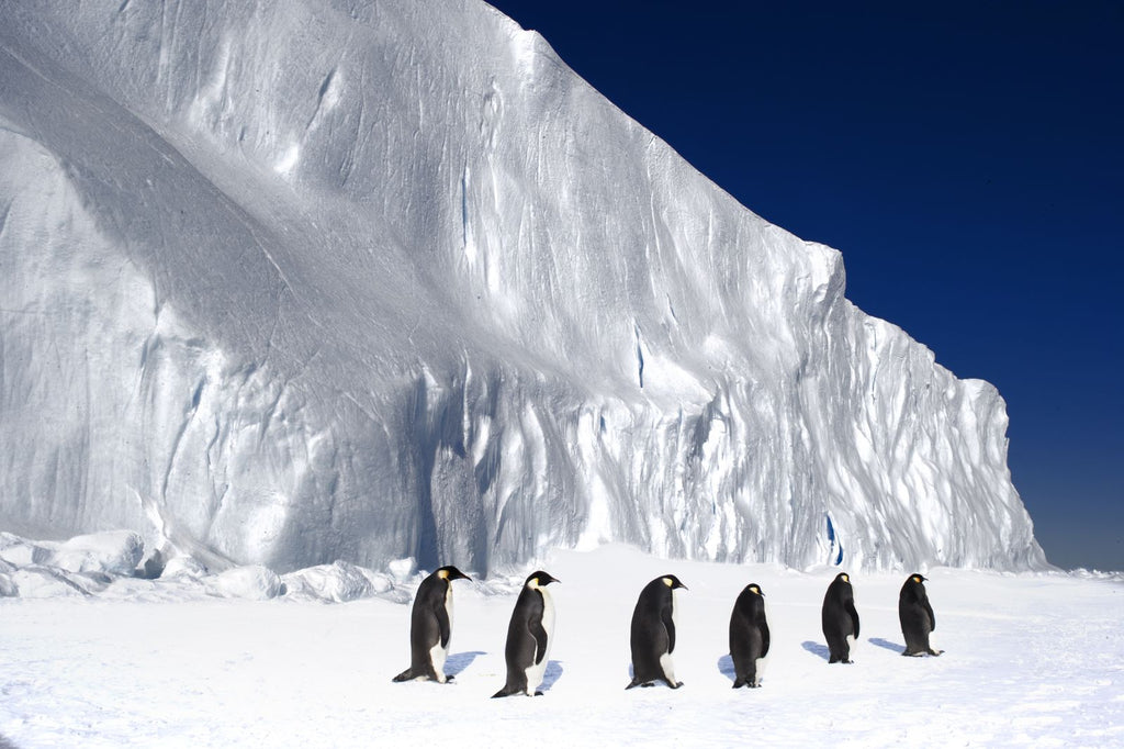 emperor-penguins