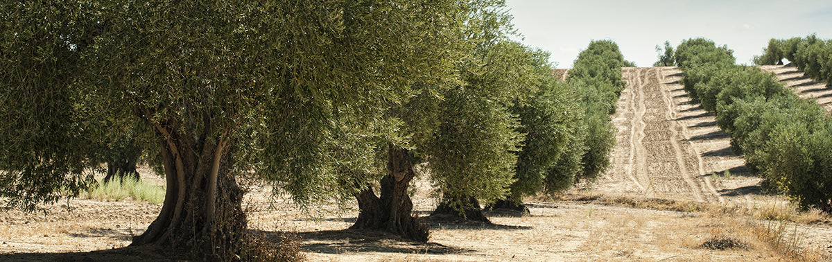 History of the Olive