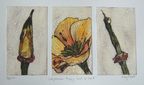Californian Poppy from Bud to Seed (7/10)