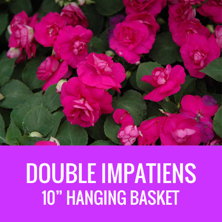 "IMPATIENS (Double Impatiens) - 10"" HANGING BASKET"