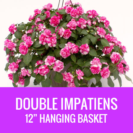 "IMPATIENS (Double Impatiens) - 12"" HANGING BASKET"