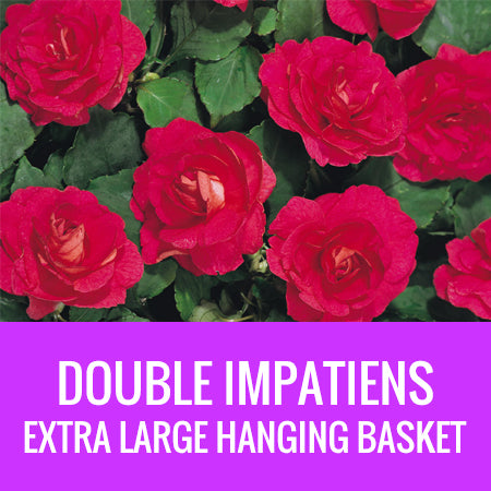 IMPATIENS (Double Impatiens) - EXTRA LARGE HANGING BASKET