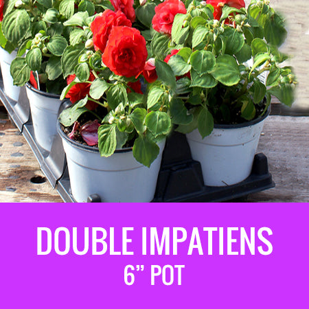 "IMPATIENS (Double Impatiens) - 6"" POT"