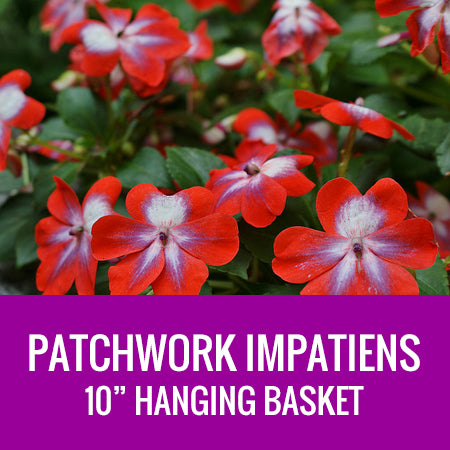 "IMPATIENS (Patchwork) - 10"" HANGING BASKET"