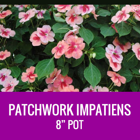 "IMPATIENS (Patchwork) - 8"" POT"