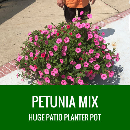 PETUNIA - HUGE PATIO PLANTER- MIXED COMBINATIONS