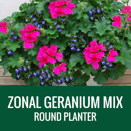 GERANIUM WITH ACCENT FLOWER - ROUND PLANTER