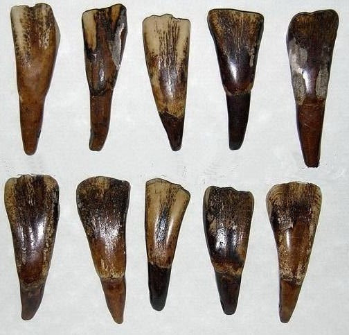 Buffalo Teeth - Drilled, Antiqued