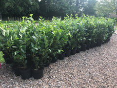 Prunus laurocerasus 'Rotundifolia' (English Cherry Laurel)  -  in pots!