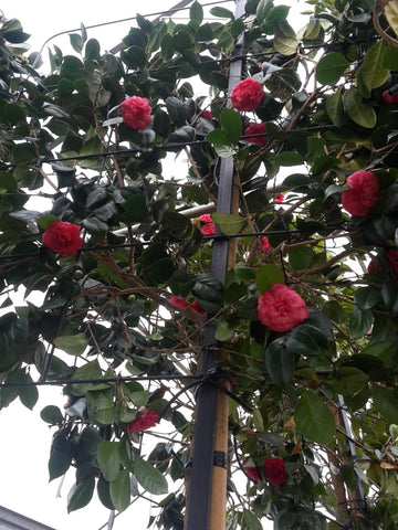 Camellia japonica (Pleached tree) red flowers