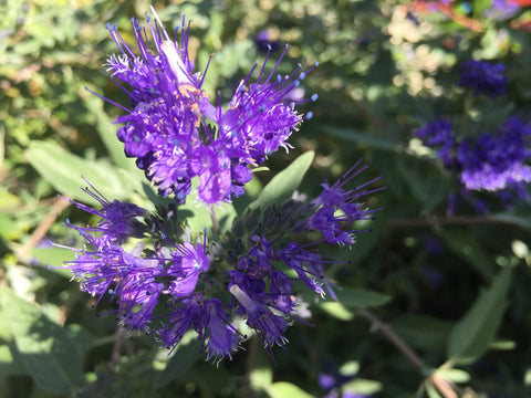 Caryopteris x clandonensis 'Heavenly Blue'