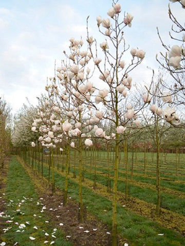 Magnolia 'Manchu Fan' (Root Ball)