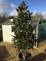 Magnolia grandiflora 'Gallisoniensis' (Conical shaped Bush)