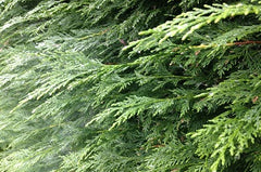 Thuja plicata (Western Red Cedar)  -  Root Ball plants