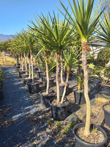 Cordyline australis ~ multi stem ~ 175-200cm