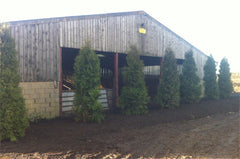 Thuja plicata 'Green Giant'