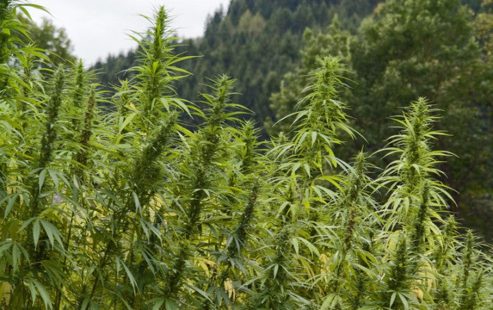 Study shows CBD Oil from Hemp is better than Synthetic Oil