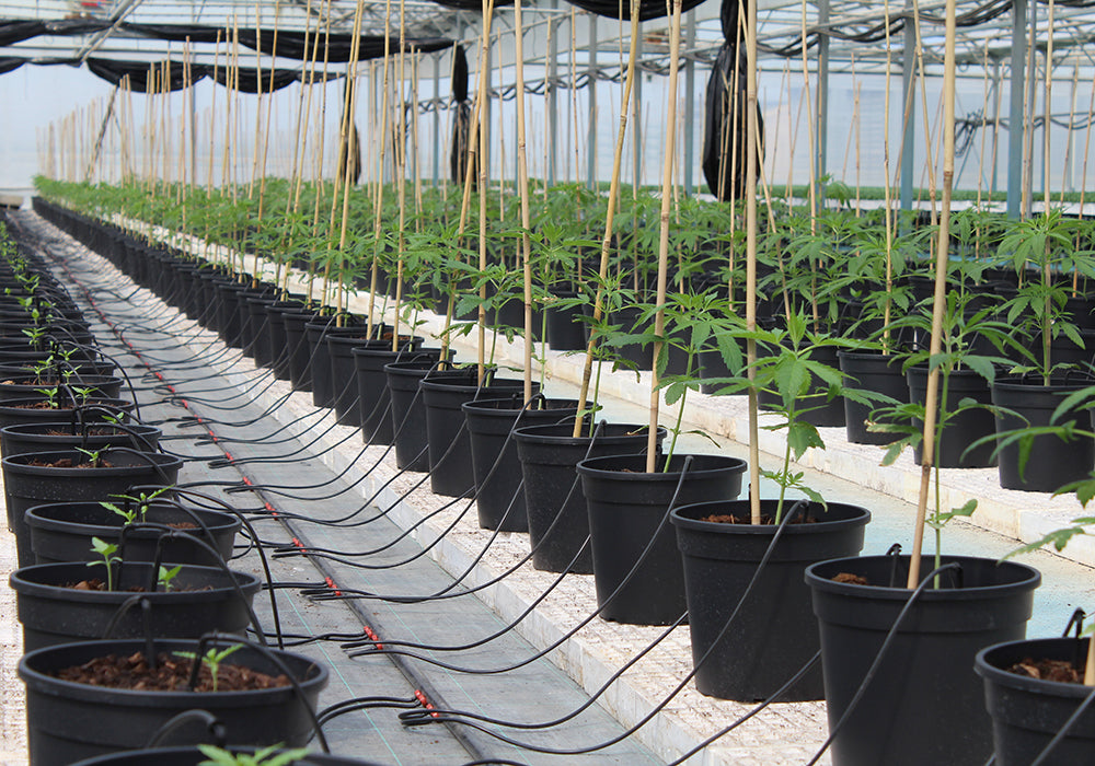 Two proprietary Enecta genetics enter the Colorado Hemp Seed Register