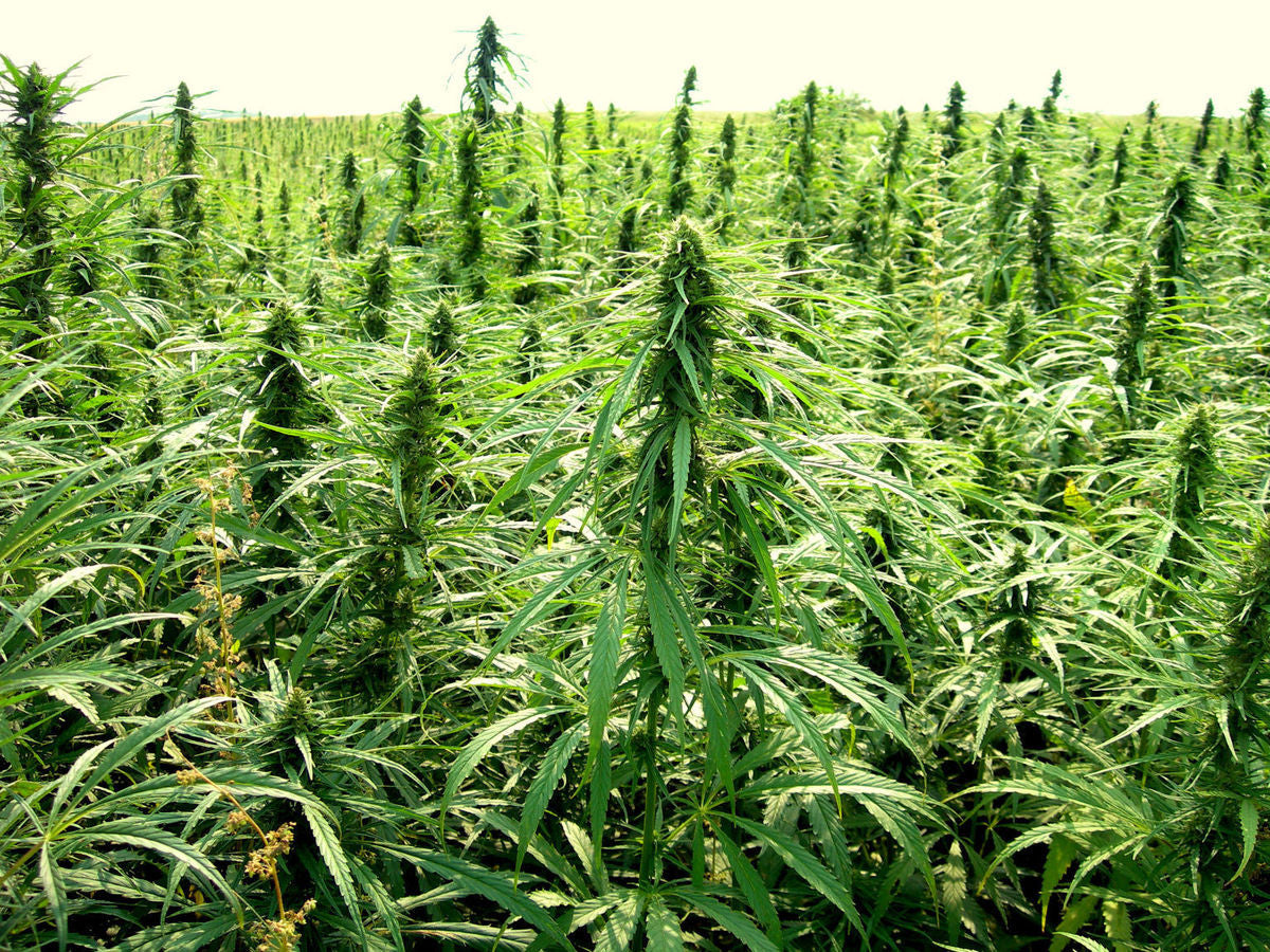 Hemp is Helping to Clean Radioactive Sites One Plant at a Time