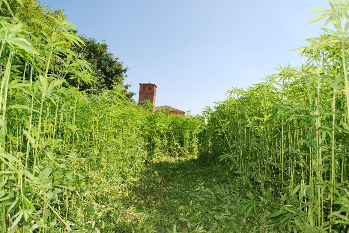 Hemp in Italy – perfect conditions for a high quality crop