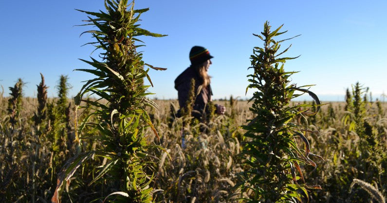 The highest quality hemp oil doesn't grow on trees