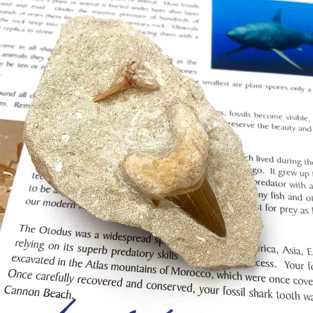 Double Fossilized Amber Otodus Shark Tooth 60 - 37.5 Million Years Old In Sandstone Matrix