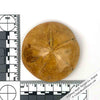 "Large 3"" Fossilized Sand Dollar 150 Million-Years-Old"