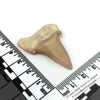 Large Fossilized Otodus Shark Tooth 60 - 37.5 Million Years Old with Velvet Pouch