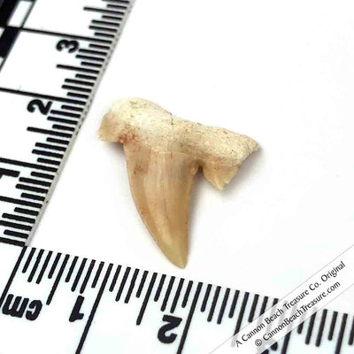 Small Fossilized Otodus Shark Tooth 60 - 37.5 Million Years Old with Velvet Pouch