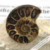 Ammonite Fossil Adjustable Ring in Alchemia by Charles Albert