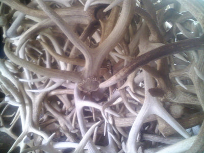 Fresh Elk Antlers at GREAT DOG!