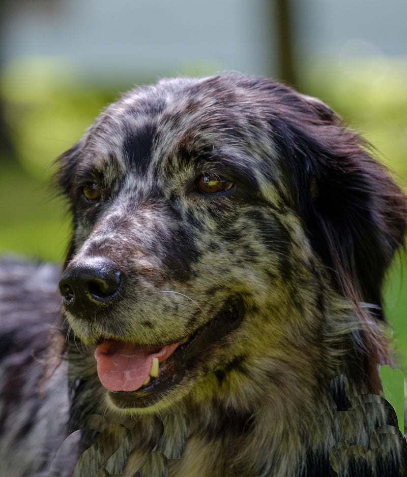 GREAT DOG CO Australian Shepherd Dog