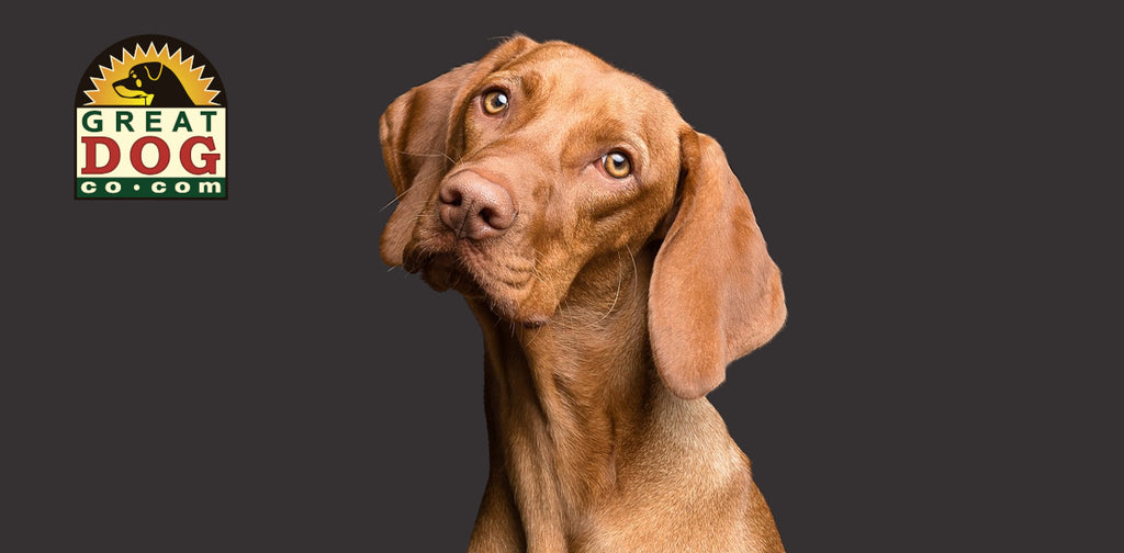 GREAT DOG CO. Vizsla dog