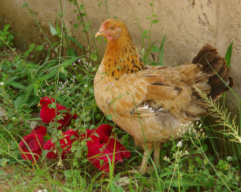 Red Chicks Greeting Card (Mad Here Version)