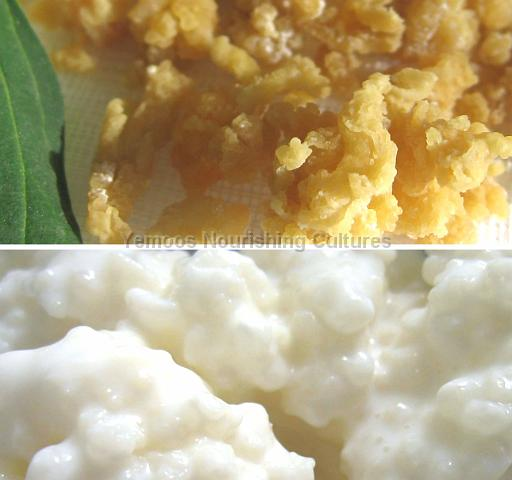 live and dried milk kefir grains