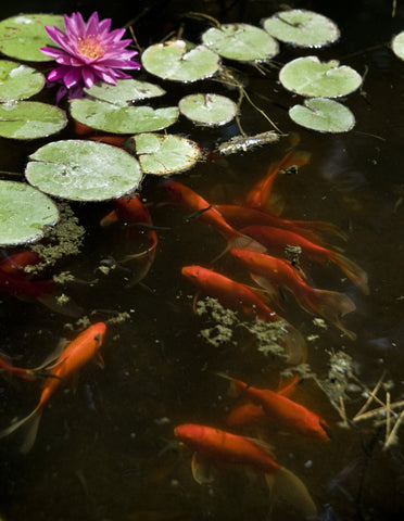 koi fish food