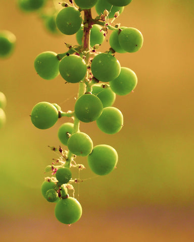 new grapes growing