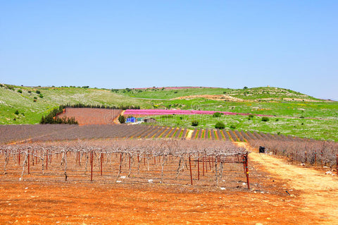 Wine Yard in Israel