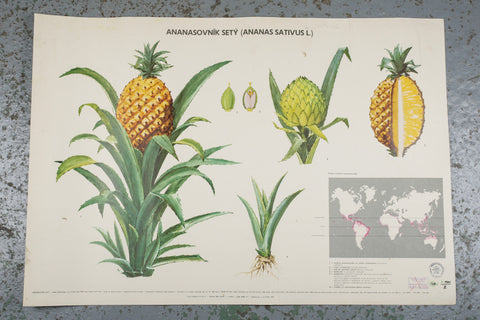 Vintage school wall chart of a pineapple available to buy from Industrious Interiors, an online vintage furniture and homeware store based in Nottingham.