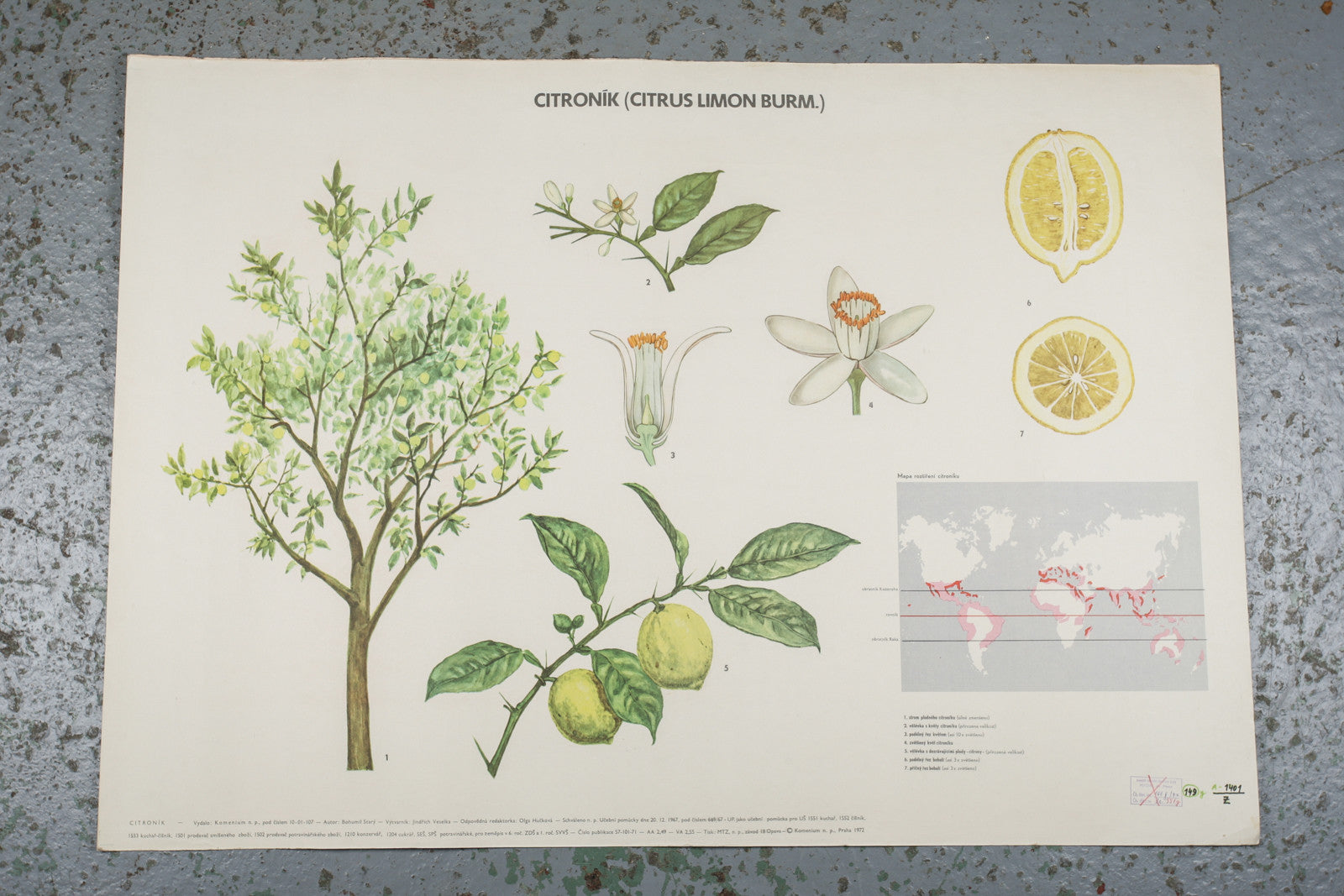 A 1972 botanical school wall chart of a lemon available for sale from Industrious Interiors, an online vintage furniture and homeware store based in Nottingham, England.