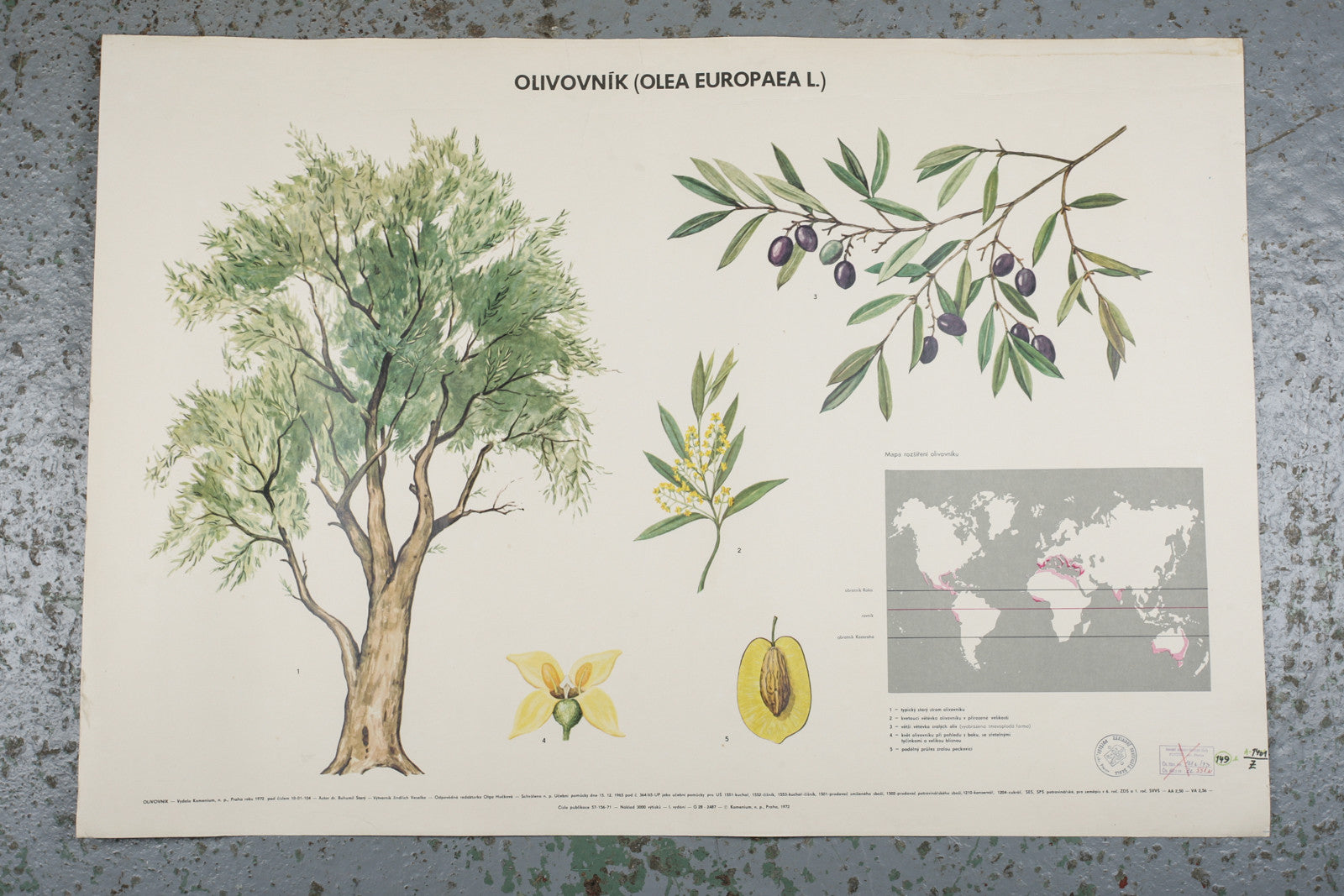 A 1972 botanical school wall chart of an olive available for sale from Industrious Interiors, an online vintage furniture and homeware store based in Nottingham, England.