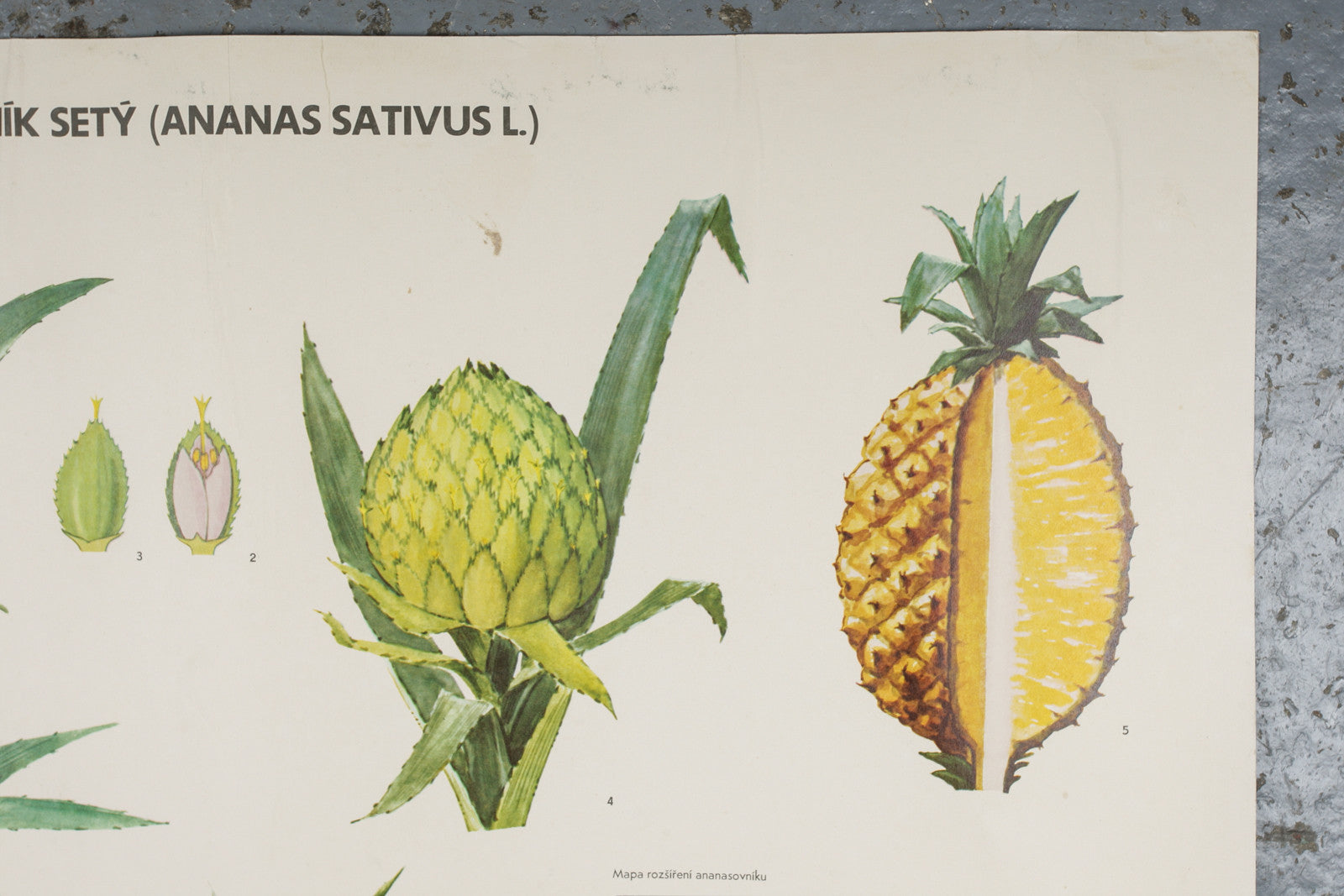 A 1972 botanical school wall chart of a pineapple available for sale from Industrious Interiors, an online vintage furniture and homeware store based in Nottingham, England.
