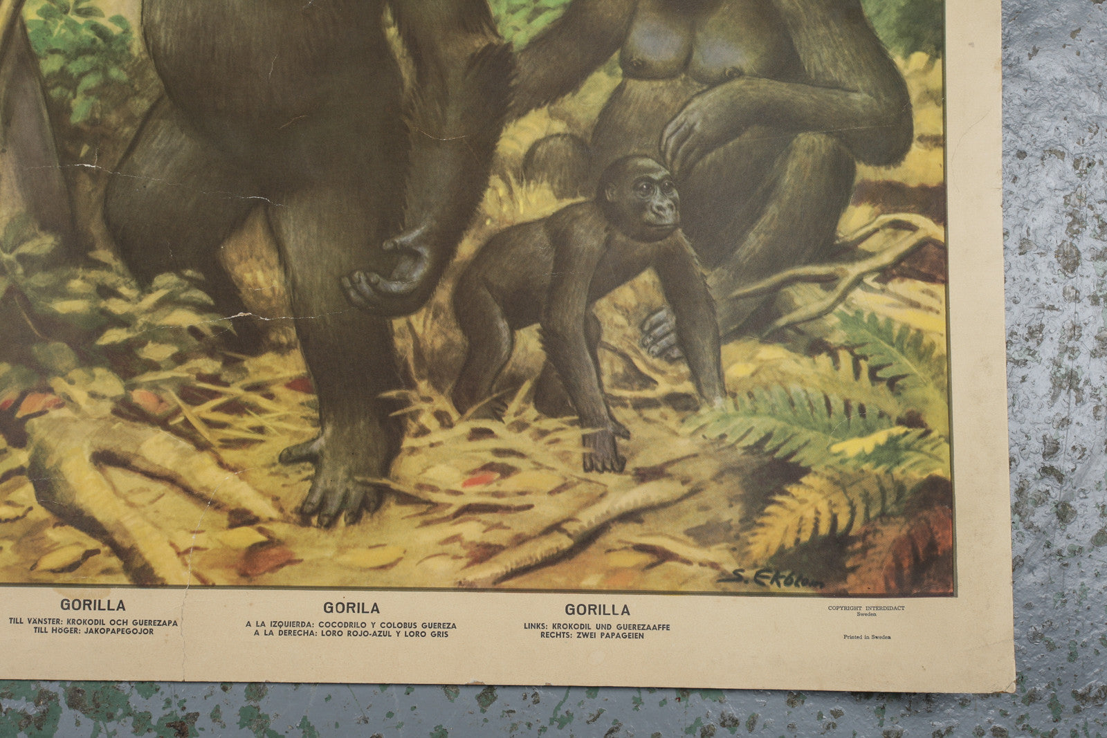 A 1960s educational wall chart of gorillas available to buy from Industrious Interiors, an online vintage furniture and homeware store based in Nottingham, England.