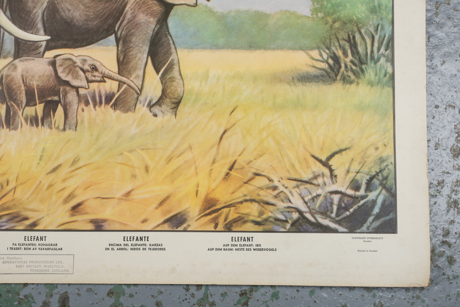 A 1960s educational wall chart of elephants available to buy from Industrious Interiors, an online vintage furniture and homeware store based in Nottingham, England.