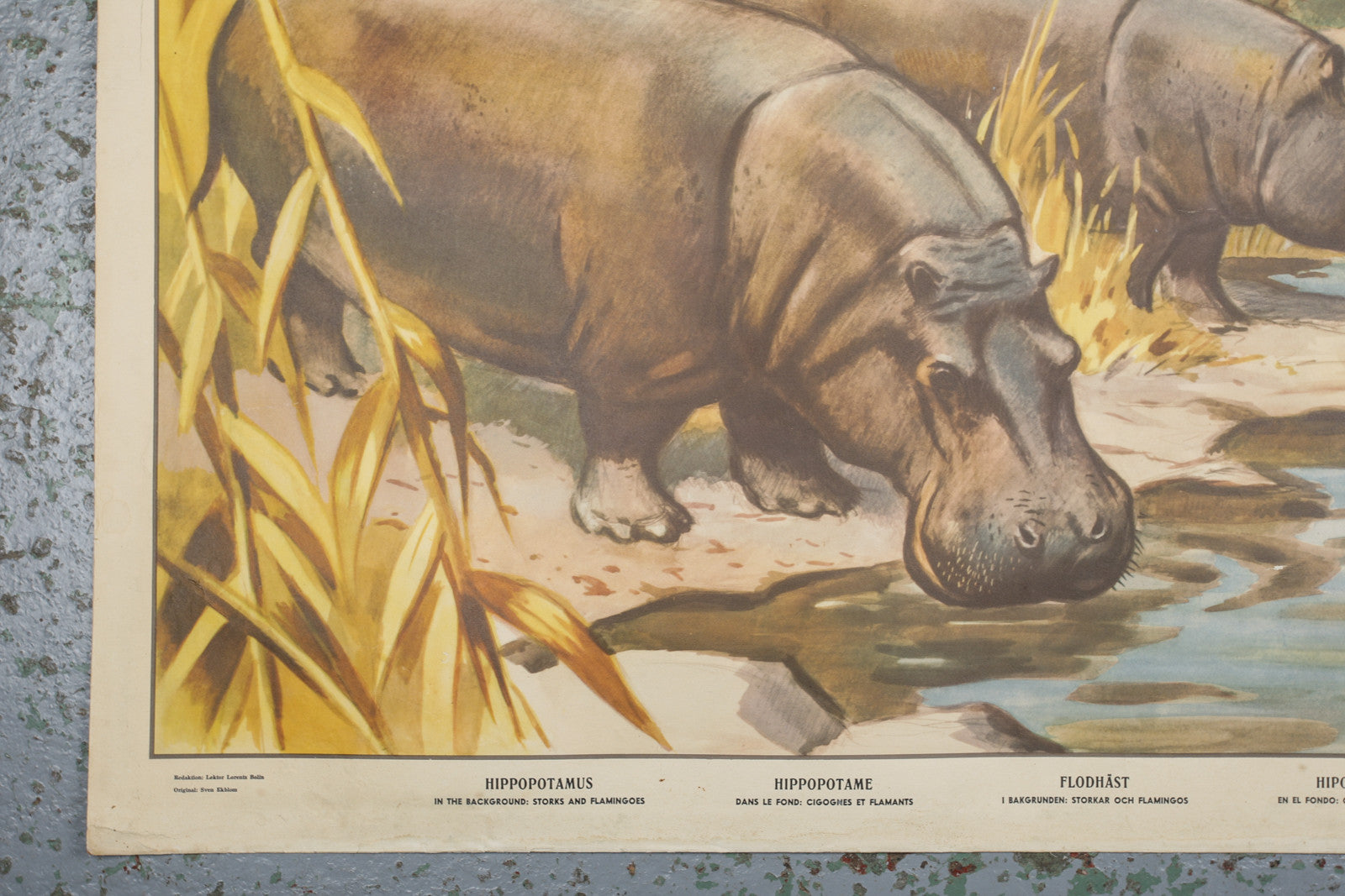 A 1960s educational wall chart of hippos available to buy from Industrious Interiors, an online vintage furniture and homeware store based in Nottingham, England.