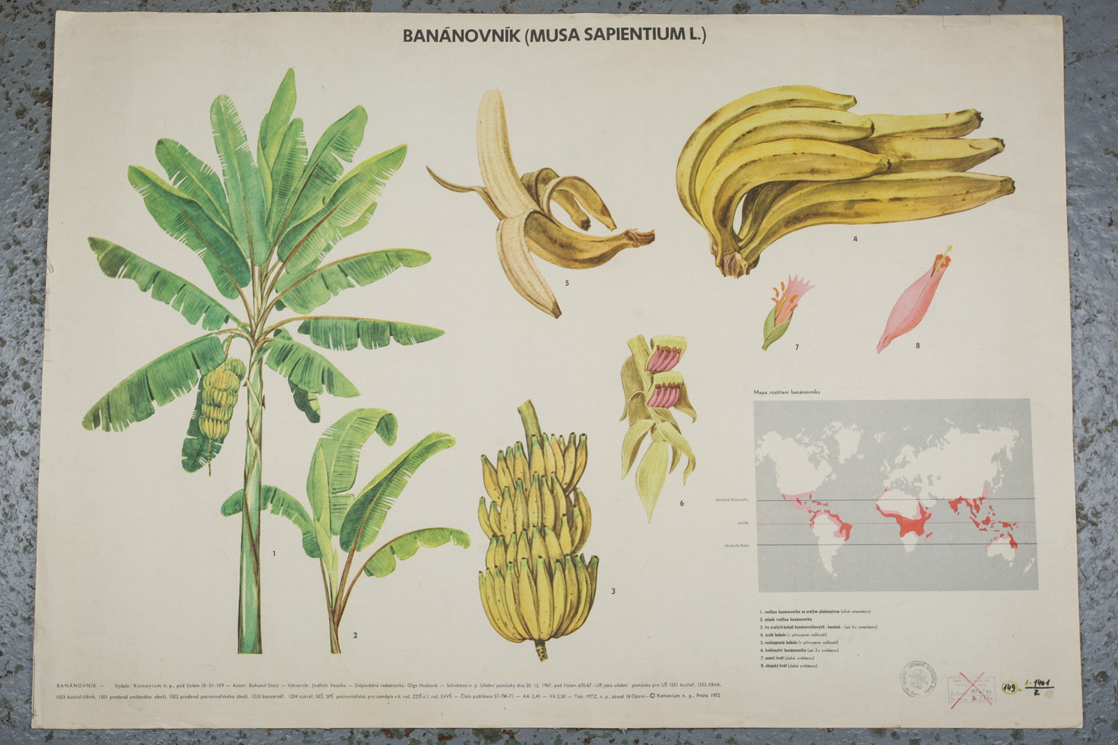 A 1972 botanical school wall chart of a banana available for sale from Industrious Interiors, an online vintage furniture and homeware store based in Nottingham, England.